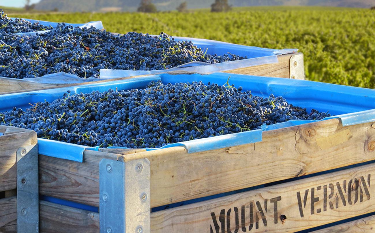 mount vernon grapes